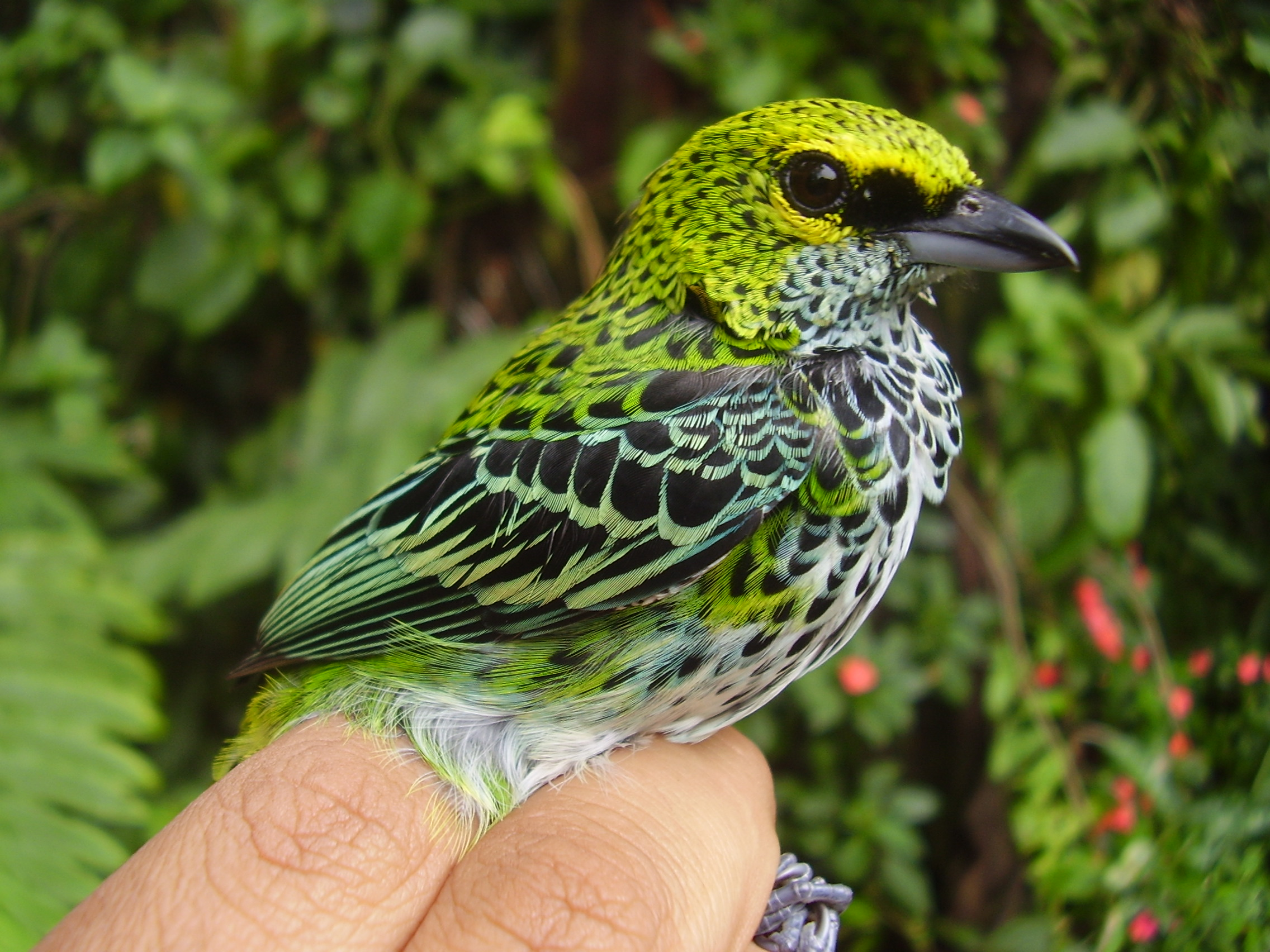 Speckled tanager, with green, yellow, black, and white feathers