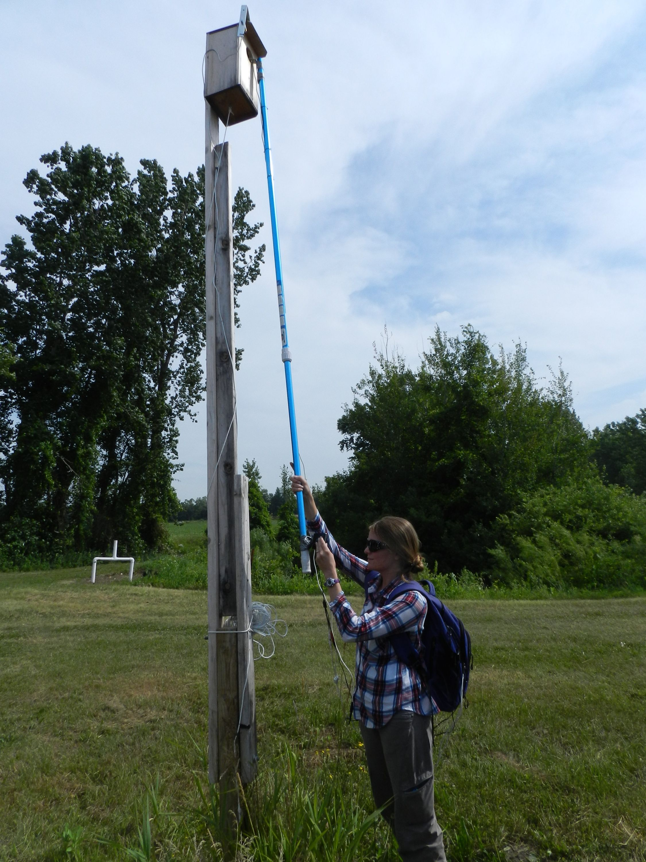 Checking for nesting activity with pole camera, Van Buren County, July 2016, photo by C. Lindell photo