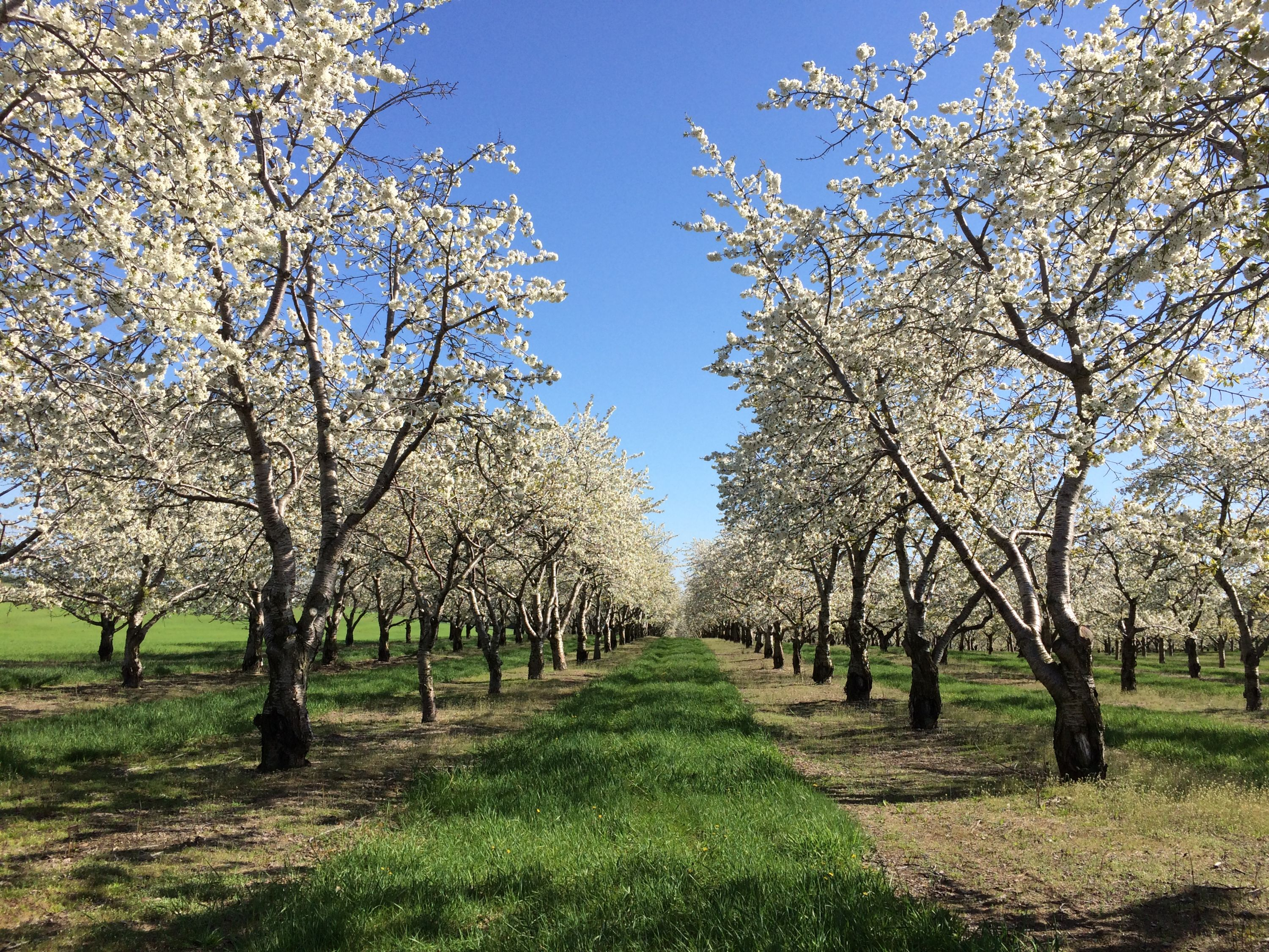 Northern Michigan sweet cherry orchard in bloom; full white blossoms but no leaves yet.